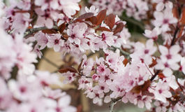 Albero in fioritura fotografia stock