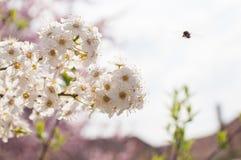 Albero in fioritura immagini stock libere da diritti
