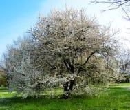 Albero in fioritura in primavera fotografia stock