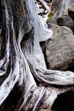 Albero flessibile Fotografia Stock