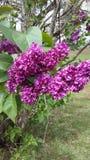 Albero floreale porpora Fotografia Stock Libera da Diritti