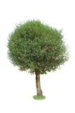 Albero a foglie decidue immagine stock libera da diritti