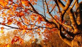 Albero a foglie decidue in autunno fotografia stock libera da diritti