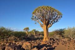 Albero Forest Namibia Africa del fremito Fotografia Stock