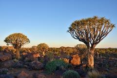 Albero Forest Namibia del fremito Immagini Stock