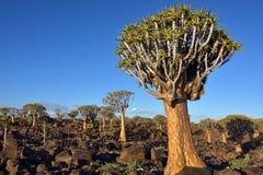 Albero Forest Namibia del fremito Immagine Stock Libera da Diritti
