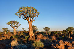 Albero Forest Namibia del fremito Fotografie Stock