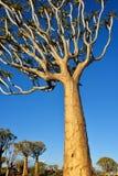 Albero Forest Namibia del fremito Immagine Stock