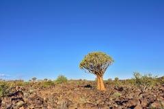 Albero Forest Namibia del fremito Fotografia Stock Libera da Diritti