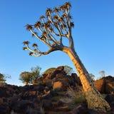 Albero Forest Namibia del fremito Fotografie Stock Libere da Diritti