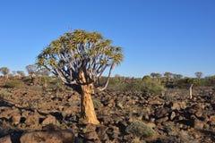 Albero Forest Namibia del fremito Fotografia Stock