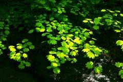 Albero foresta e di acero di nord-ovest pacifici della vite Fotografia Stock