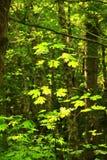 Albero foresta e di acero di nord-ovest pacifici della vite Fotografie Stock Libere da Diritti