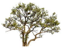 Albero in foresta isolata. Fotografia Stock