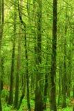 Albero foresta pluviale e dell'abete di douglas di nord-ovest pacifici Immagine Stock