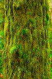Albero foresta pluviale e dell'abete di douglas di nord-ovest pacifici Fotografie Stock Libere da Diritti