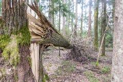 Albero forestale abbattuto in una tempesta Fotografie Stock