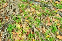 Albero forestale con le radici Immagine Stock Libera da Diritti