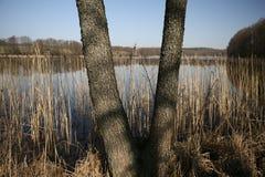 Albero a forma di V che cresce nella riva del lago Lituania Fotografie Stock Libere da Diritti