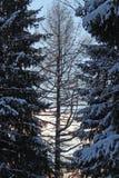 Albero fra due pini Immagini Stock