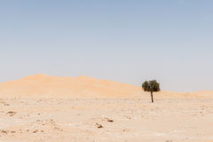 Albero fra le dune di sabbia nel deserto di Al-Khali dello sfregamento (Oman) Fotografia Stock