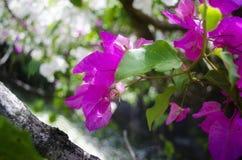 Albero fucsia del fiore Fotografia Stock Libera da Diritti