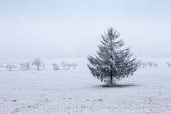 Albero gelido dell'abete rosso di inverno sul campo di inverno Immagine Stock