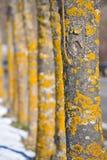 Albero giallo Immagini Stock