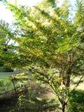 Albero giallo del fiore Fotografia Stock
