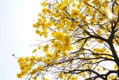 Albero giallo del fiore Fotografia Stock Libera da Diritti