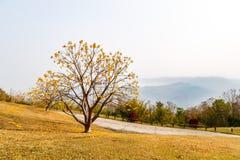 Albero giallo del fiore sull'alta montagna Fotografia Stock Libera da Diritti