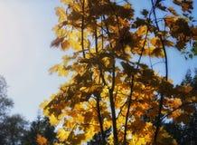 albero giallo della natura di autunno di luce solare di colore dell'acero Fotografia Stock