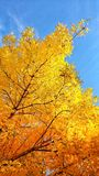 Albero giallo di autunno fotografie stock libere da diritti