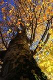 Albero giallo di autunno Fotografia Stock Libera da Diritti