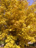 Albero giallo di autunno Immagini Stock