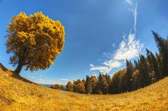 Albero giallo solo nel prato alpino contro un cielo blu profondo Fotografia Stock