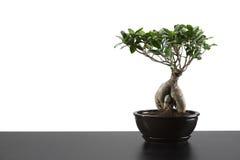 Albero giapponese dei bonsai in POT Fotografia Stock Libera da Diritti