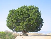 Albero gigante Fotografia Stock Libera da Diritti