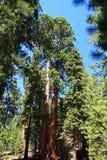 Albero gigante Fotografia Stock