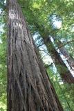 albero gigante del redwood Fotografia Stock