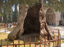 Albero gigante, foro gigante Fotografie Stock