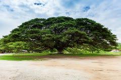 Albero gigante; La Tailandia Immagini Stock Libere da Diritti