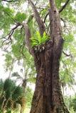 Albero gigante nei giardini botanici di Singapore Fotografie Stock Libere da Diritti