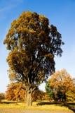 Albero in giorno di autunno di alba Fotografie Stock
