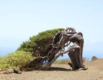 Albero Gnarled del ginepro a forma di dal vento Immagini Stock Libere da Diritti
