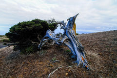 Albero Gnarled del ginepro a forma di dal vento Fotografia Stock Libera da Diritti
