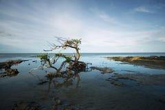 Albero Gnarled della mangrovia Fotografia Stock