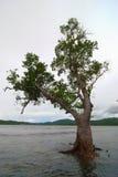 Albero grigio della mangrovia Immagini Stock
