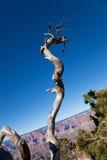Albero guasto al grande canyon immagine stock