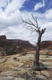 Albero guasto in canyon aridi dell'Utah Fotografia Stock